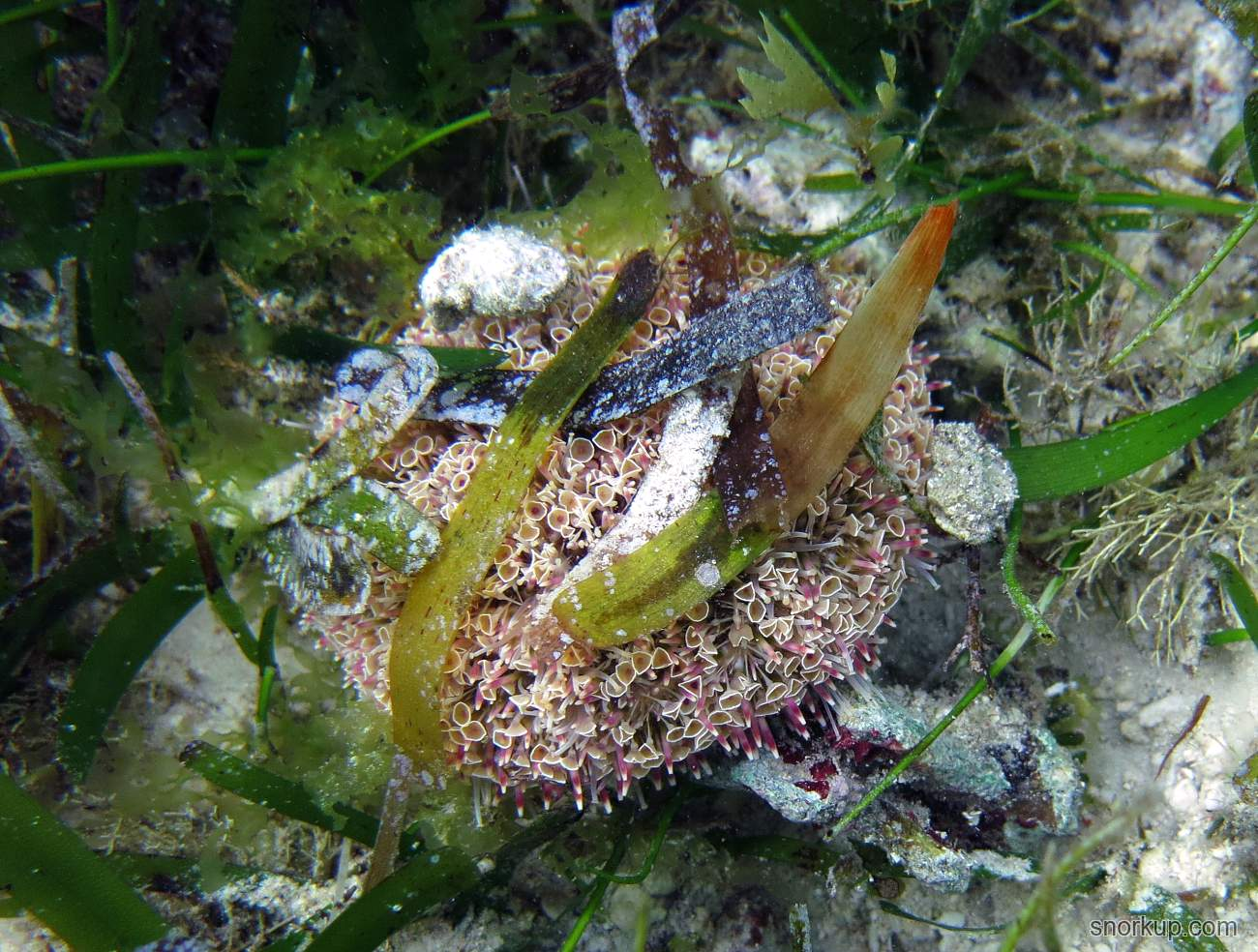 Морской еж токсопнеустес - Toxopneustes pileolus - Flower urchin. Чрезвычайно ядовит!