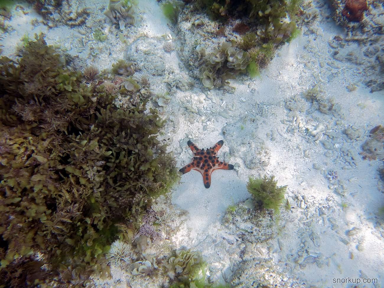 Морская звезда Protoreaster nodosus