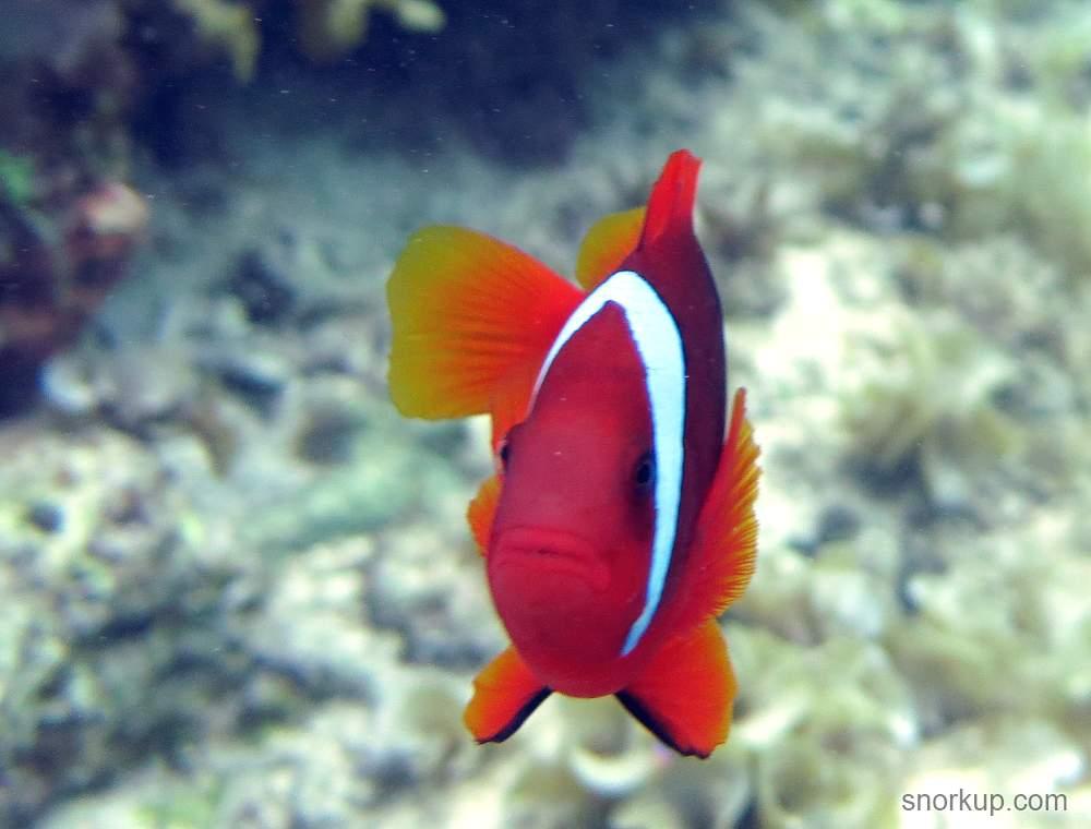 Клоун томатный или Амфиприон красный - Amphiprion frenatus - Tomato clownfish