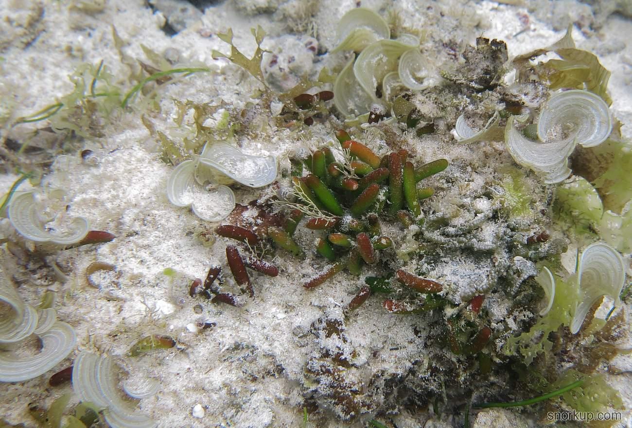 Водоросли Зеленые морские сосиски)) - Bornetella oligospora - Green sea sausage seaweed