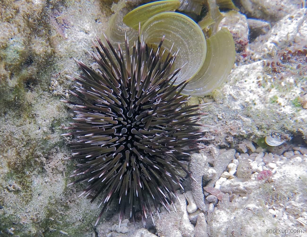Морской ёж-скаловёрт – Echinometra mathaei – Burrowing urchin