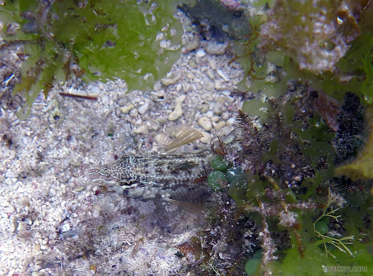 Цилиндрический песчаный окунь - Parapercis cylindrica - Cylindrical sandperch