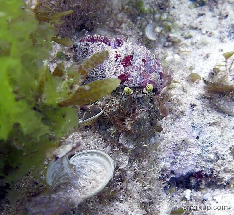 Анемоновый краб Dardanus sp. Анемоны на нём всё же были, только совсем крошечные