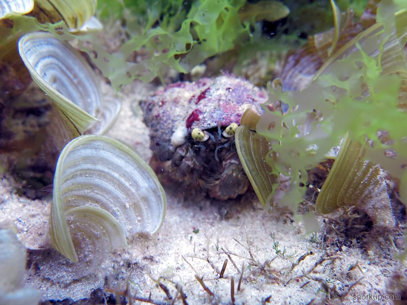 Анемоновый краб или Рак-отшельник Dardanus sp.