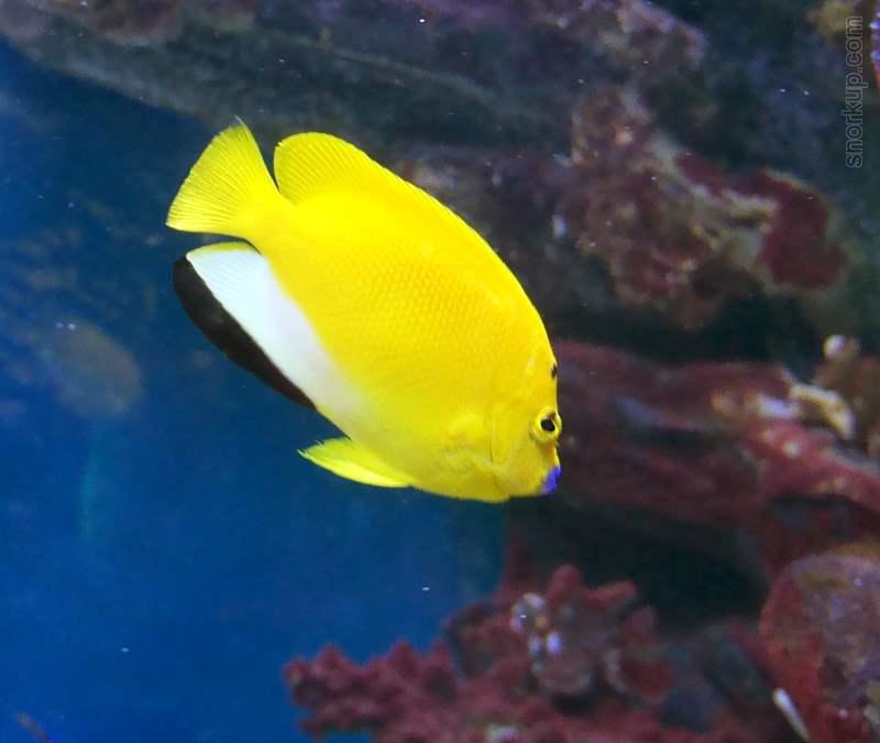 Трехточечная (Синегубая) рыба-ангел - Apolemichthys trimaculatus - Threespot angelfish