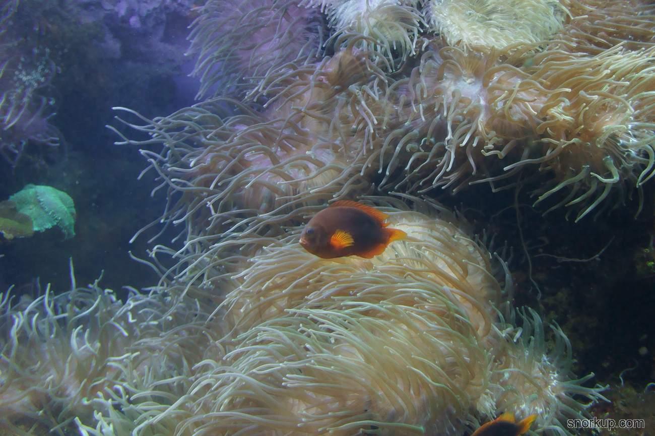 Клоун ефиппиум - Amphiprion ephippium - Saddle anemonefish  и Четырёхцветная актиния - Entacmaea quadricolor