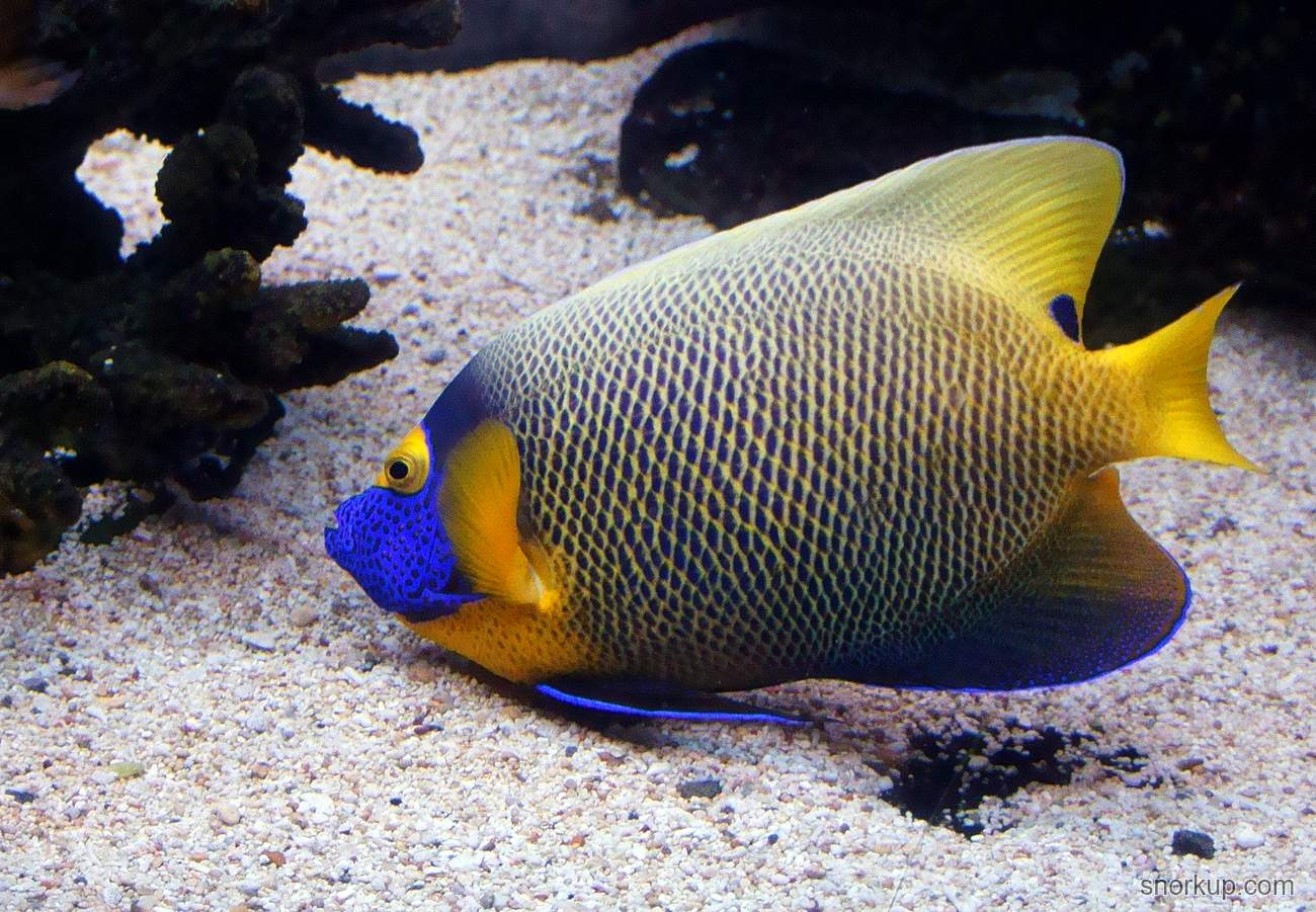 Желтомасковый ангел - Pomacanthus (Euxiphipops) xanthometopon - Yellowface angelfish