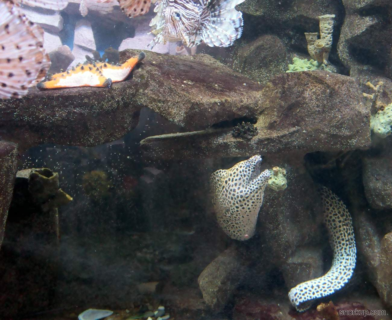 Леопардовая мурена - Gymnothorax favagineus - Laced moray