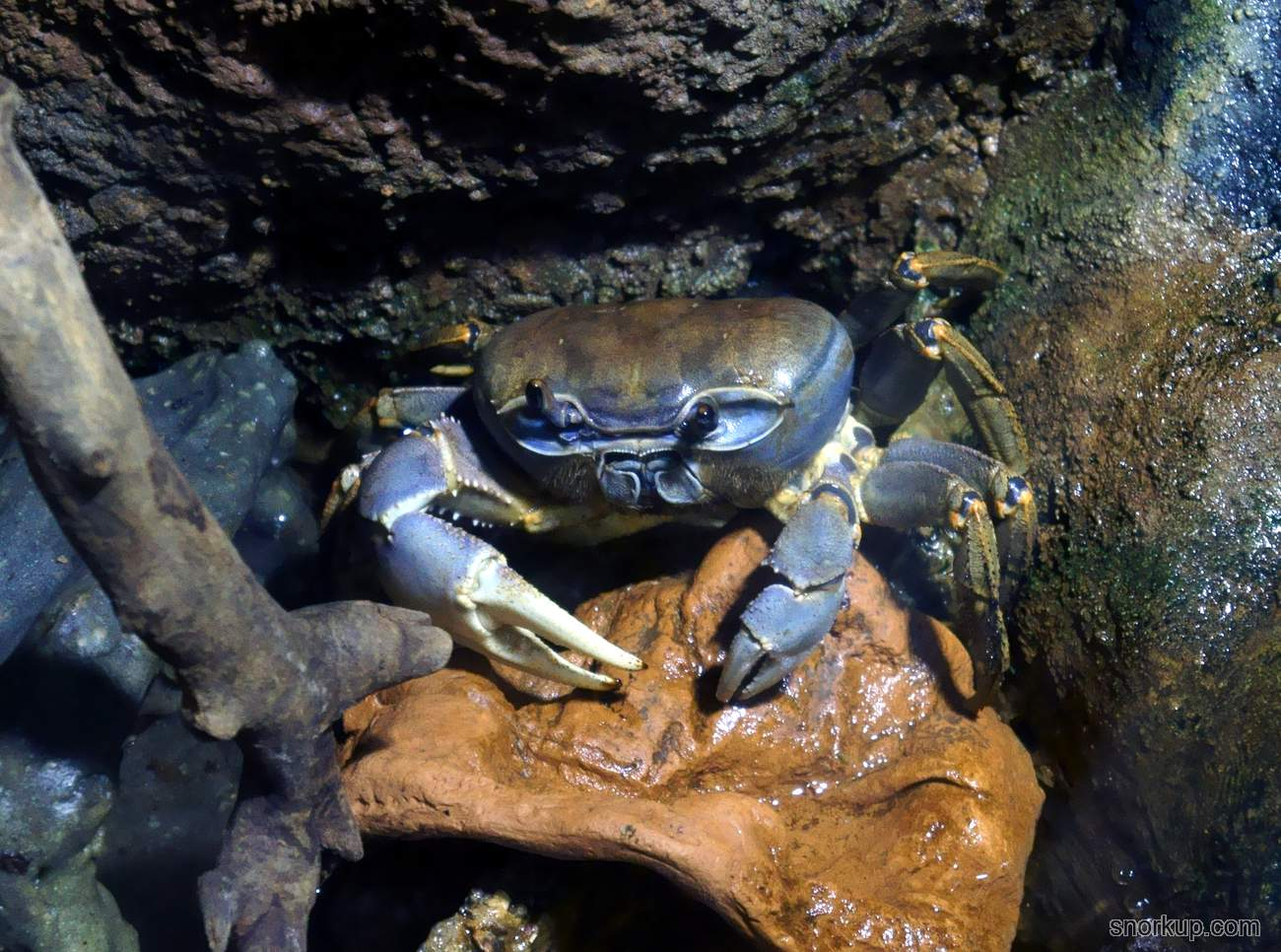 Земляной краб, Радужный краб - Cardisoma armatum - Rainbow crab
