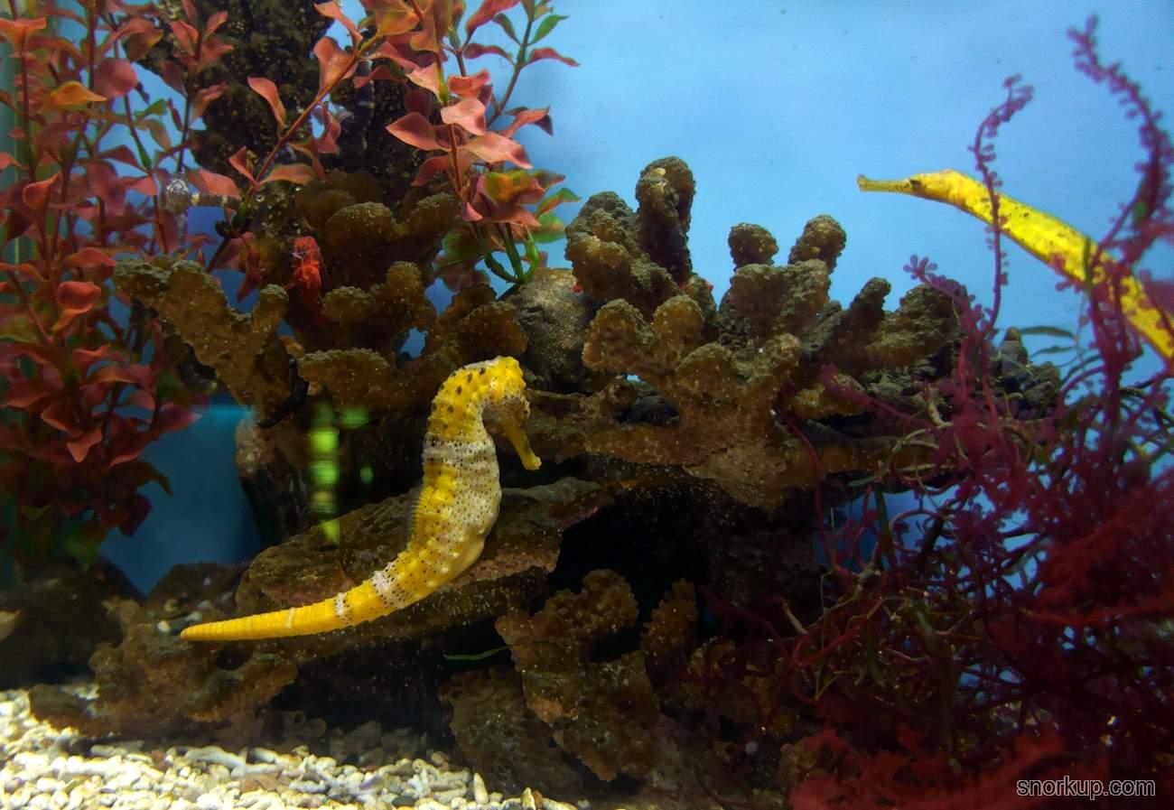 Морской конёк Hippocampus reidi - Longsnout Seahorse or Slender Seahorse
