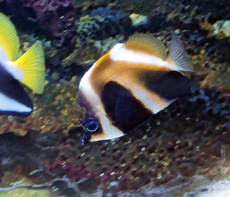 Бабочка вымпельная фантом - Heniochus pleurotaenia - Phantom bannerfish