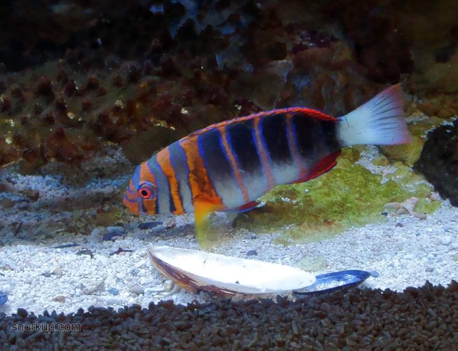 Лиенарделла краснополосая, Губан-арлекин - Choerodon fasciatus - Harlequin Tuskfish