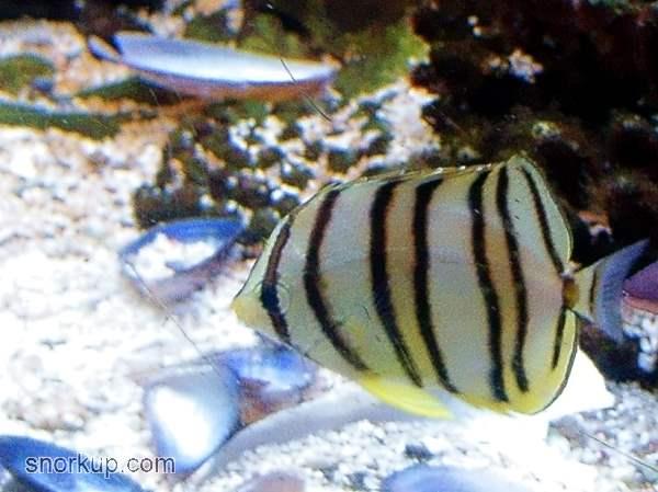 Восьмиполосая рыба-бабочка - Chaetodon octofasciatus - Eightband butterflyfish