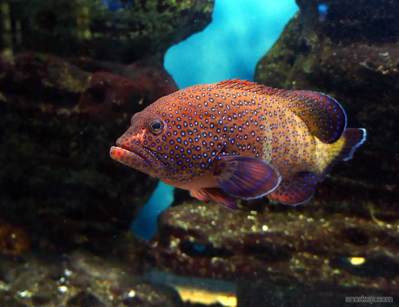 Павлинья гаррупа, Групер аргус - Cephalopholis argus - Peacock hind