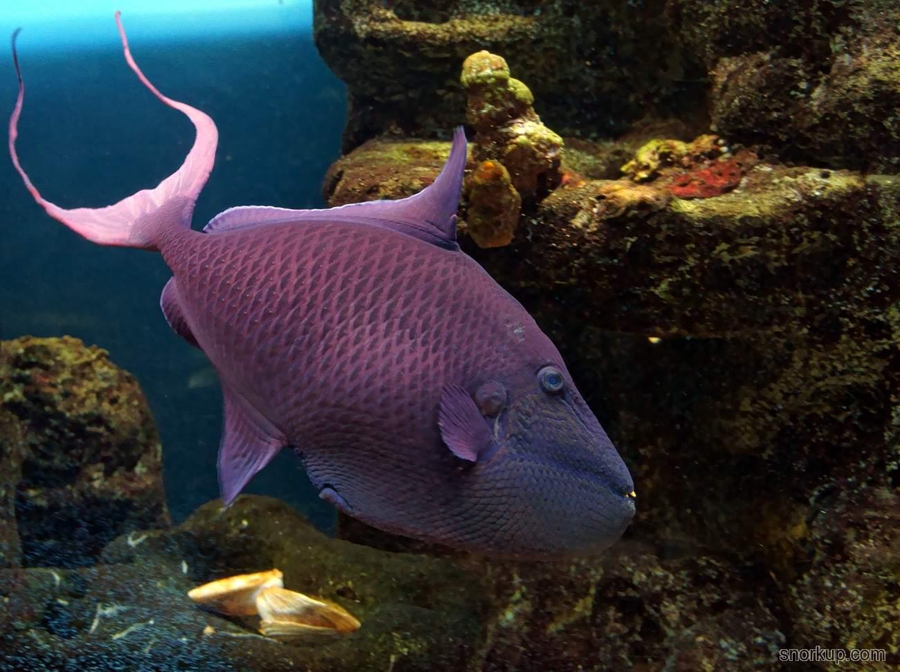 Краснозубый спинорог - Odonus niger - Redtoothed triggerfish