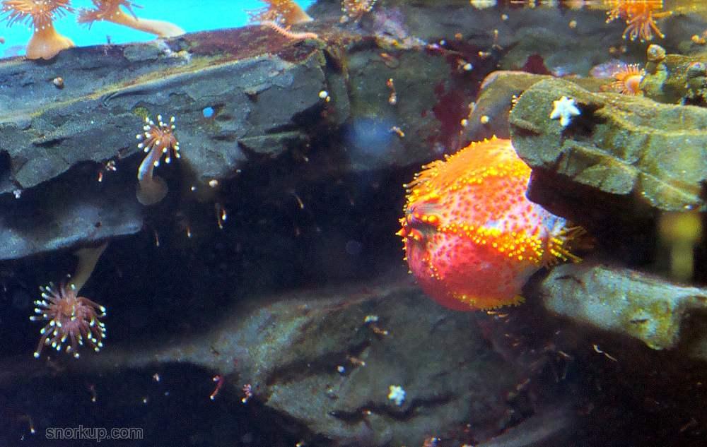 Пурпурное морское яблоко, Голотурия трехцветная - Pseudocolochirus axiologus - Paracucumaria tricolor, Sea Apple