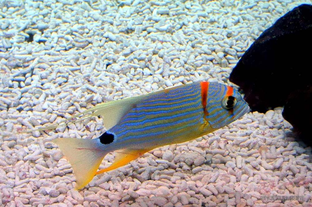 Симфорихт синеполосый - Symphorichthys spilurus - Sailfin snapper, Blue-lined sea bream