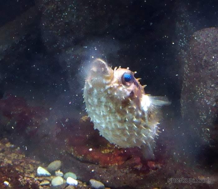 Птичий циклихт - Cyclichthys orbicularis - Birdbeak burrfish, Orbicular burrfish