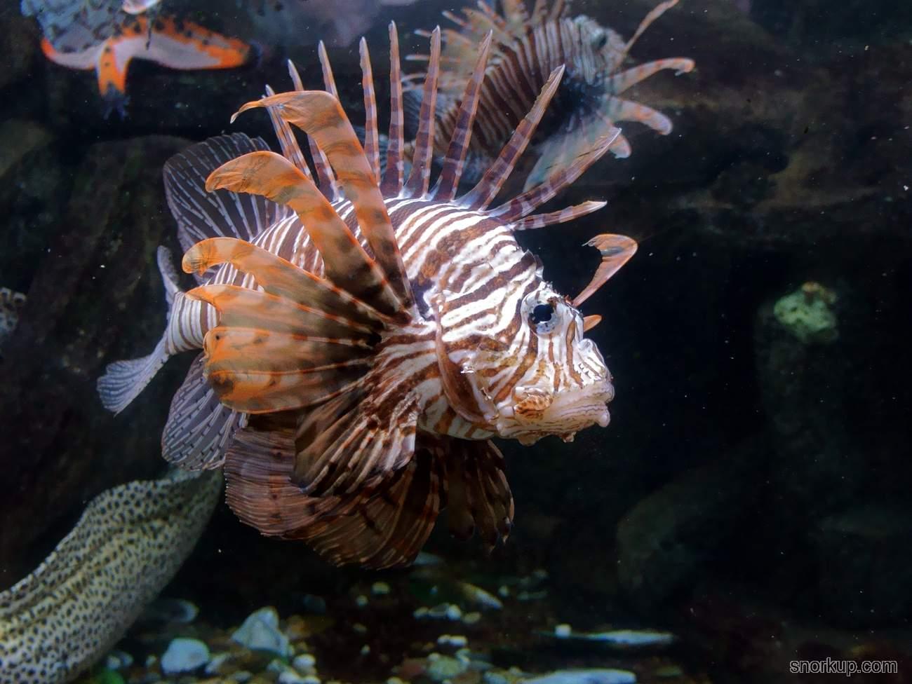 Крылатка-зебра - Pterois volitans - Red lionfish