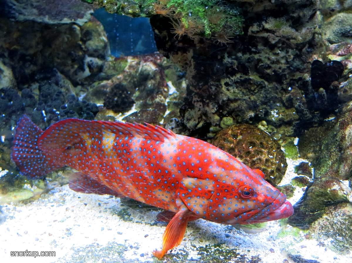 Коралловая гаррупа - Cephalopholis miniata - Coral hind, Red coral grouper