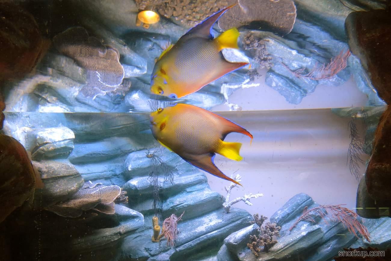 Ангел-изабелита королева, Зеленая качама - Holacanthus ciliaris - Queen angelfish
