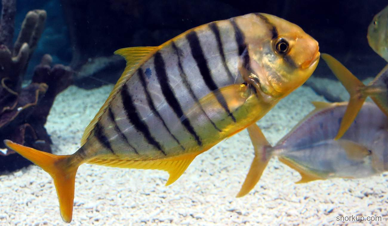 Каранг золотой, Золотистый каранкс - Gnathanodon speciosus - Golden trevally