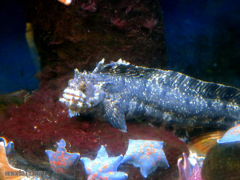 Собачка японская мохнатоголовая - Chirolophis japonicus - Fringed blenny