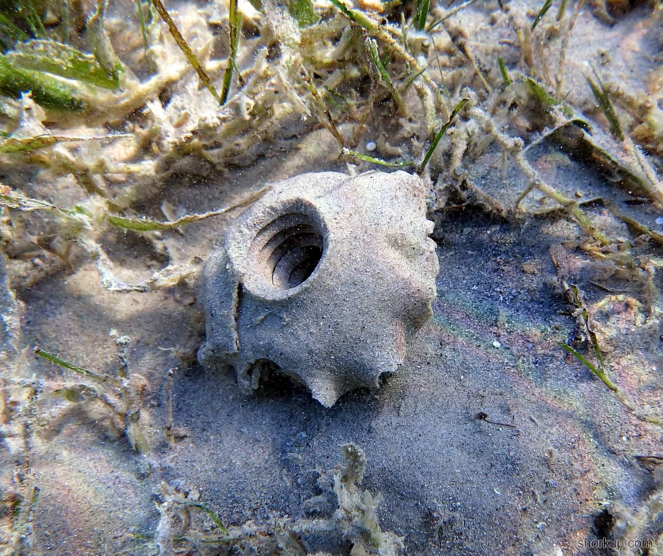 На обратной стороне своеобразного воротника из песка склееного слизью моллюск Moon Snail прилепляет свою икру