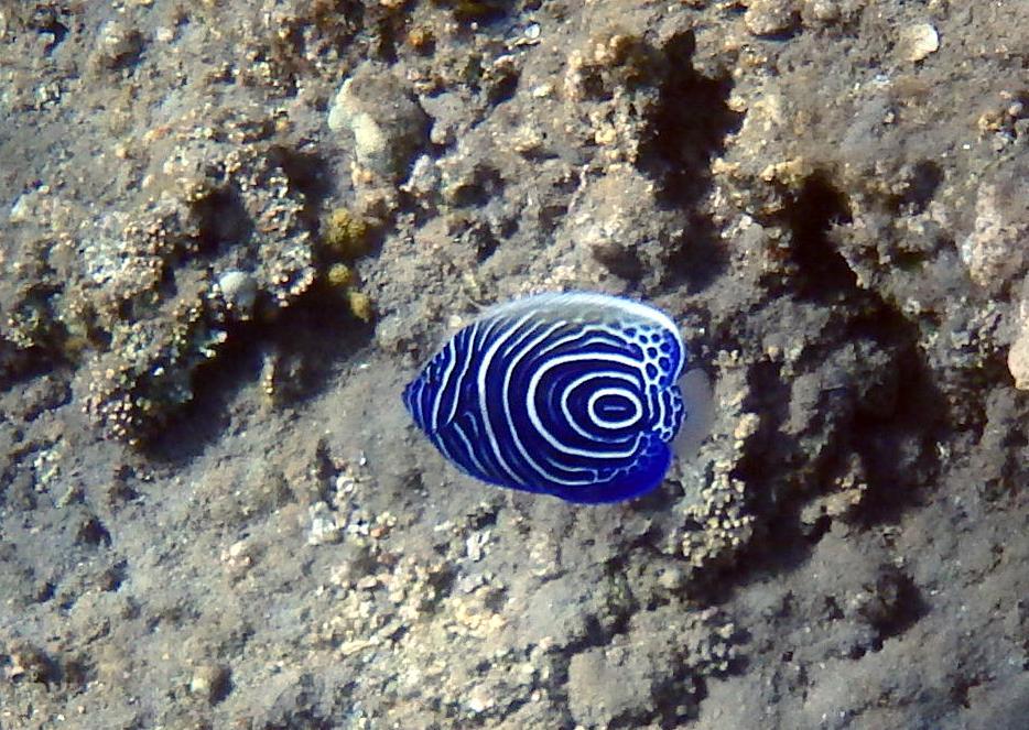 Молодь Имераторского ангела (Pomacanthus imperator, juvenile Emperor angelfish)