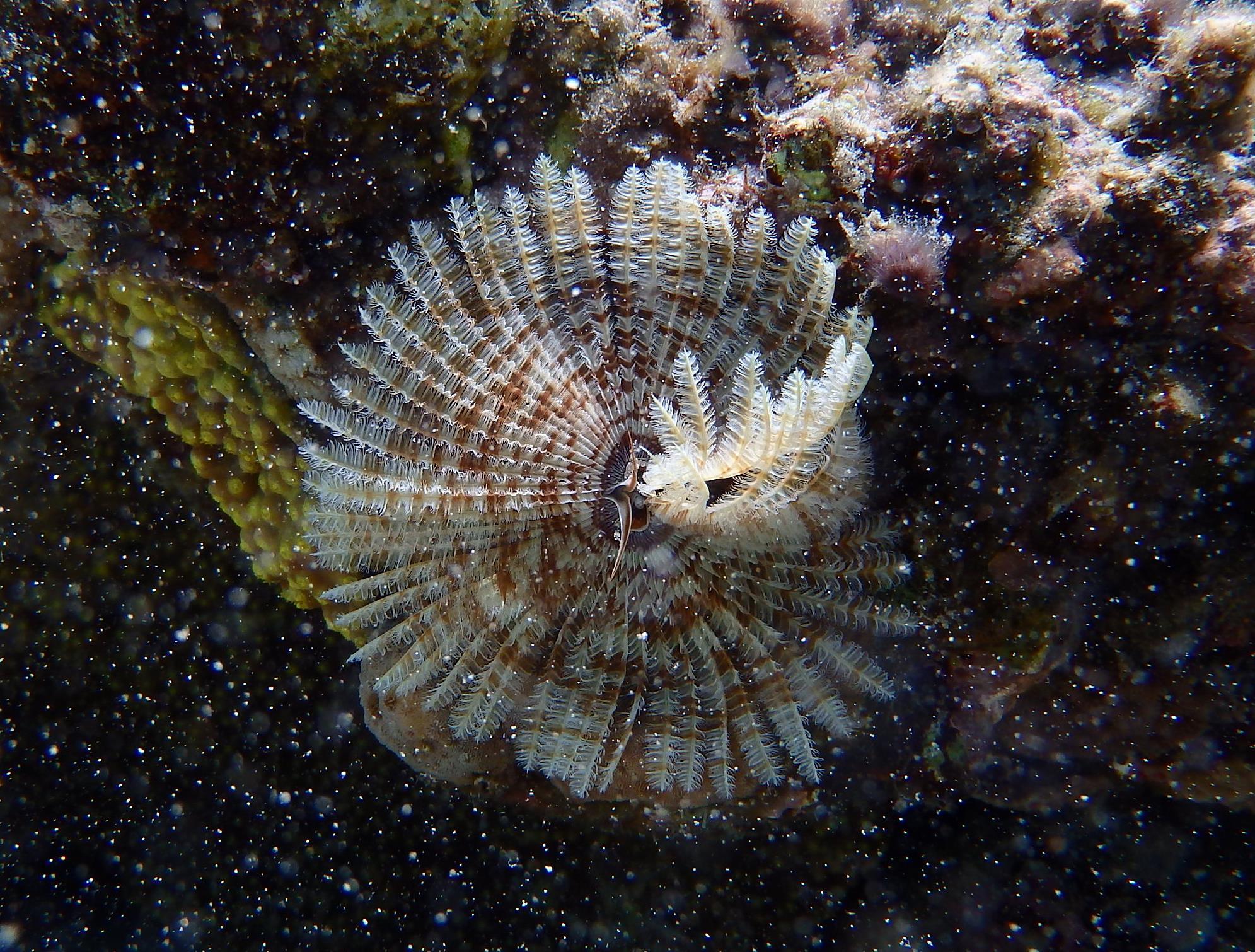 Трубчатый перистый червь, Sabellastarte indica, Indian tube worm