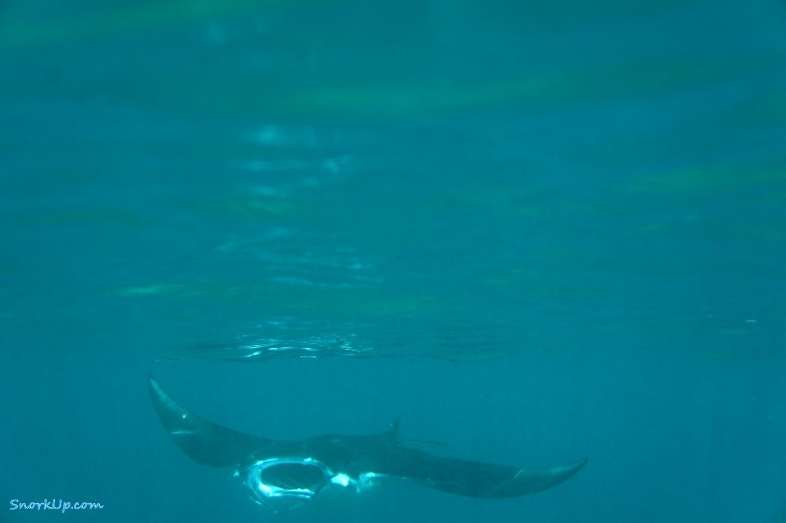 Гигантский морской дъявол или манта  (Manta birostris) у самой поверхности