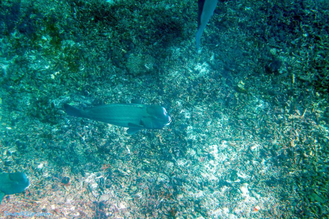 Шишкоголовый попугай (лат.Bolbometopon muricatum, англ.Green humphead parrotfish)