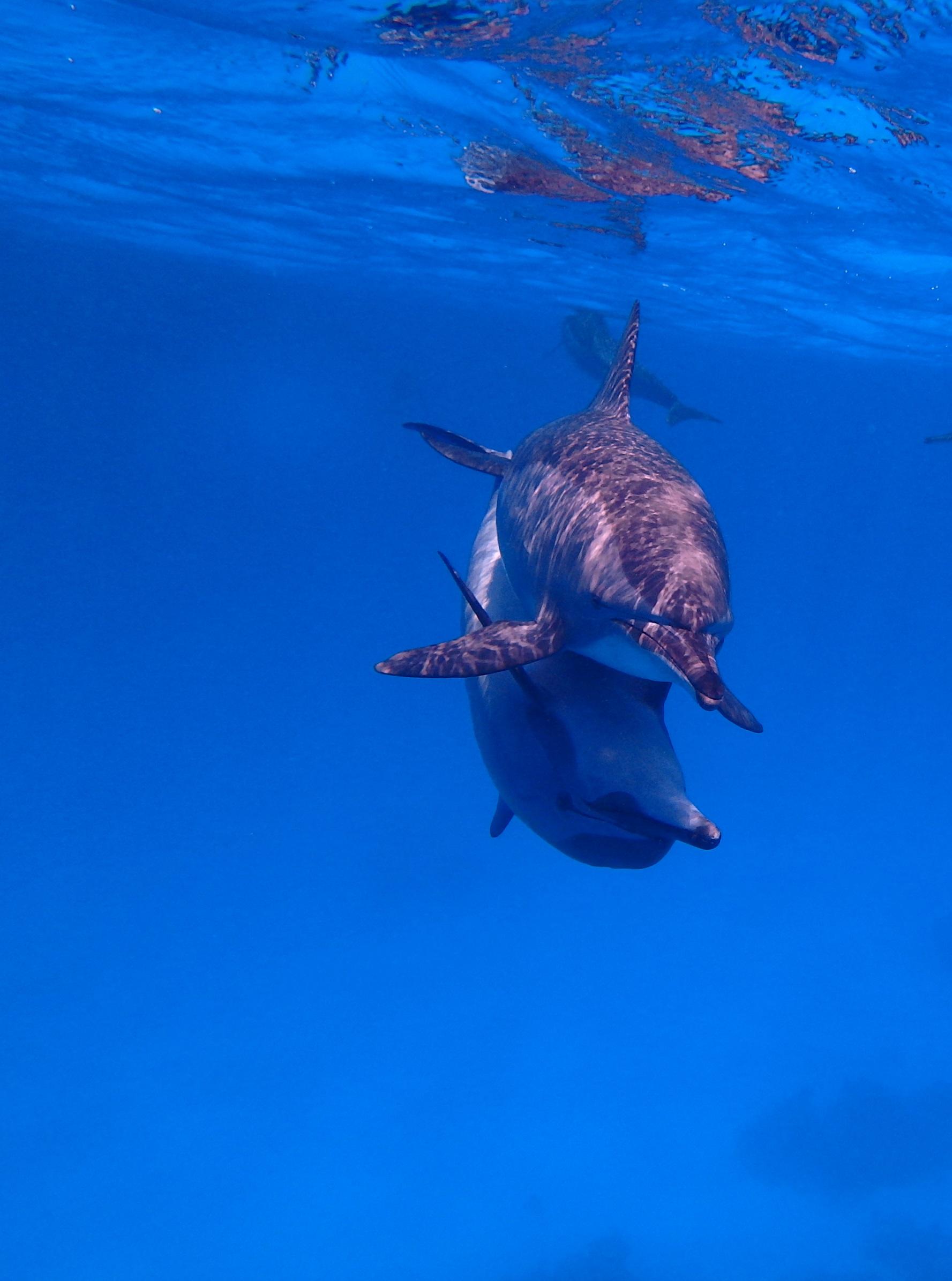 Дельфин-белобочка Delphinus capensis