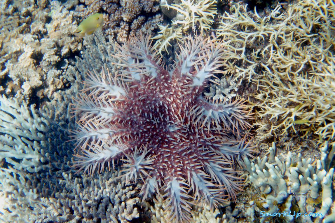 Морская звезда Терновый венец (лат.Acanthaster planci)
