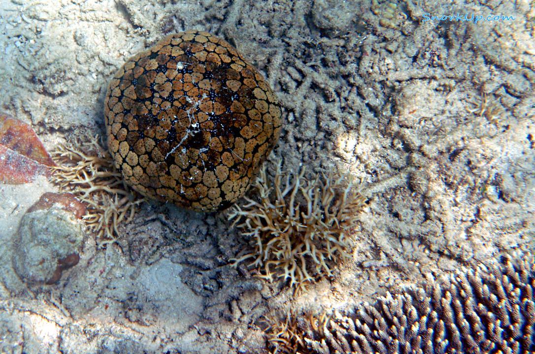 Морская звезда лат.Culcita schmideliana (анг.Schmedelian pin-cushion sea star)