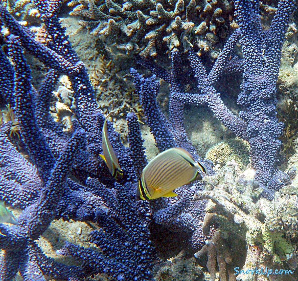 Дынная рыба-бабочка (лат.Chaetodon trifasciatus, анг.Melon butterflyfish)