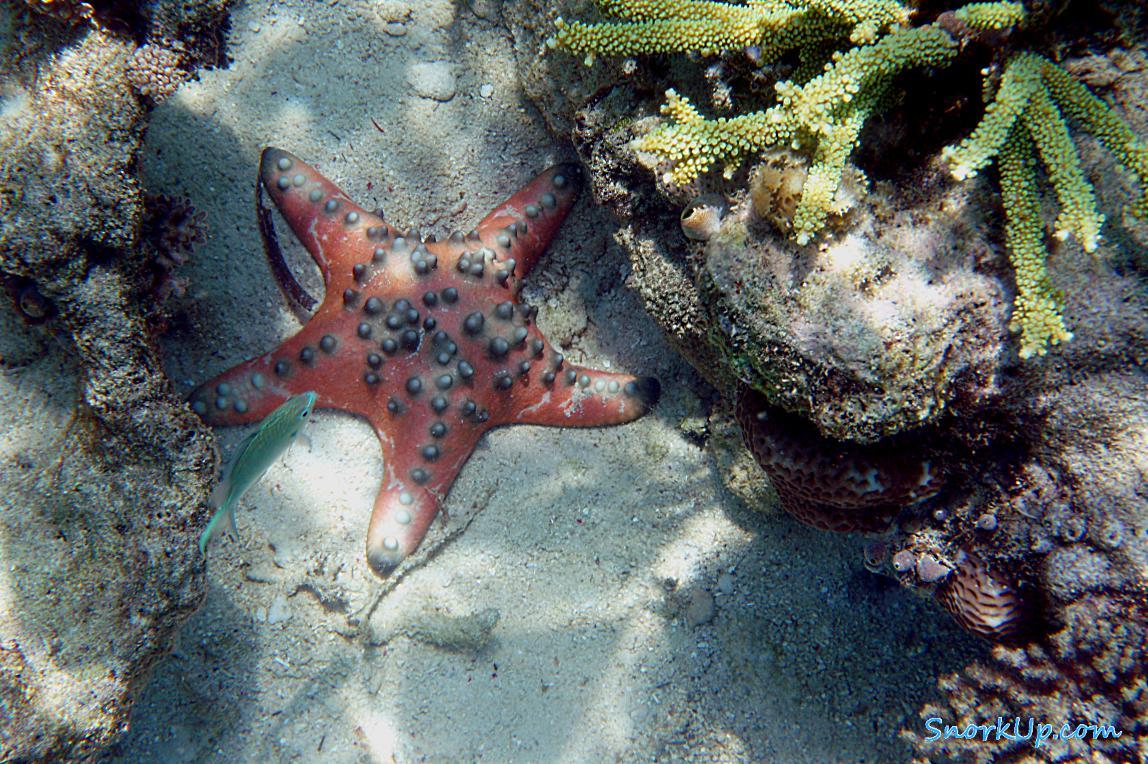 Морская звезда Protoreaster sp.