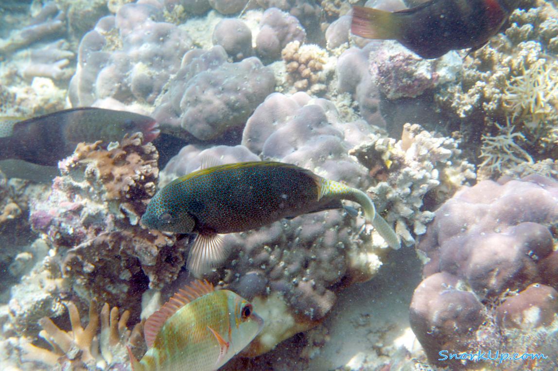 Goldspotted spinefoot (Siganus punctatus) . Эта рыбка имеет ядовитые колючки.