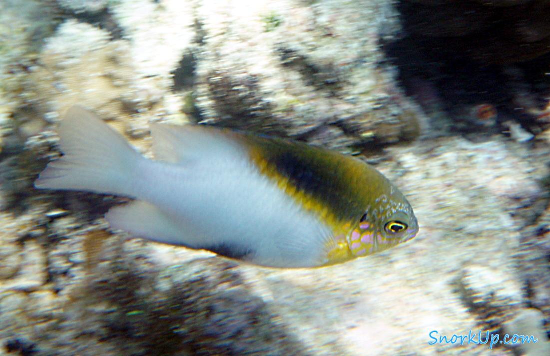 Один из видов рыб-девушек (лат.Dischistodus melanotus, анг.Black-Vent Damsel)