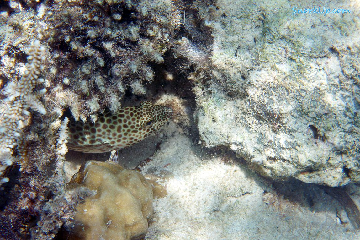 Жёлтопятнистый групер (лат.Epinephelus areolatus, анг.Areolate grouper)