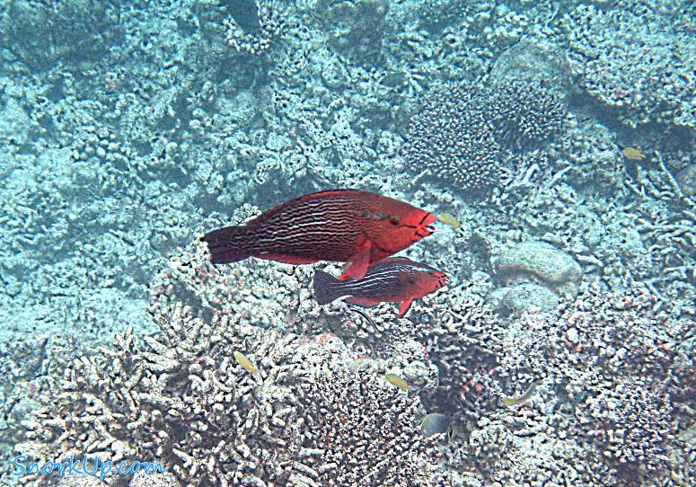 Тёмная рыба попугай - самка? (лат.Scarus niger, англ.Dusky parrotfish)