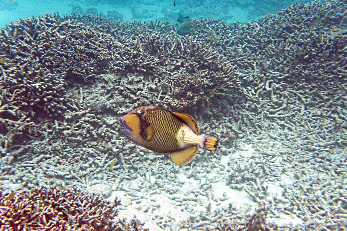 Спинорог титан (лат.Balistoides viridescens, анг.Titan triggerfish)
