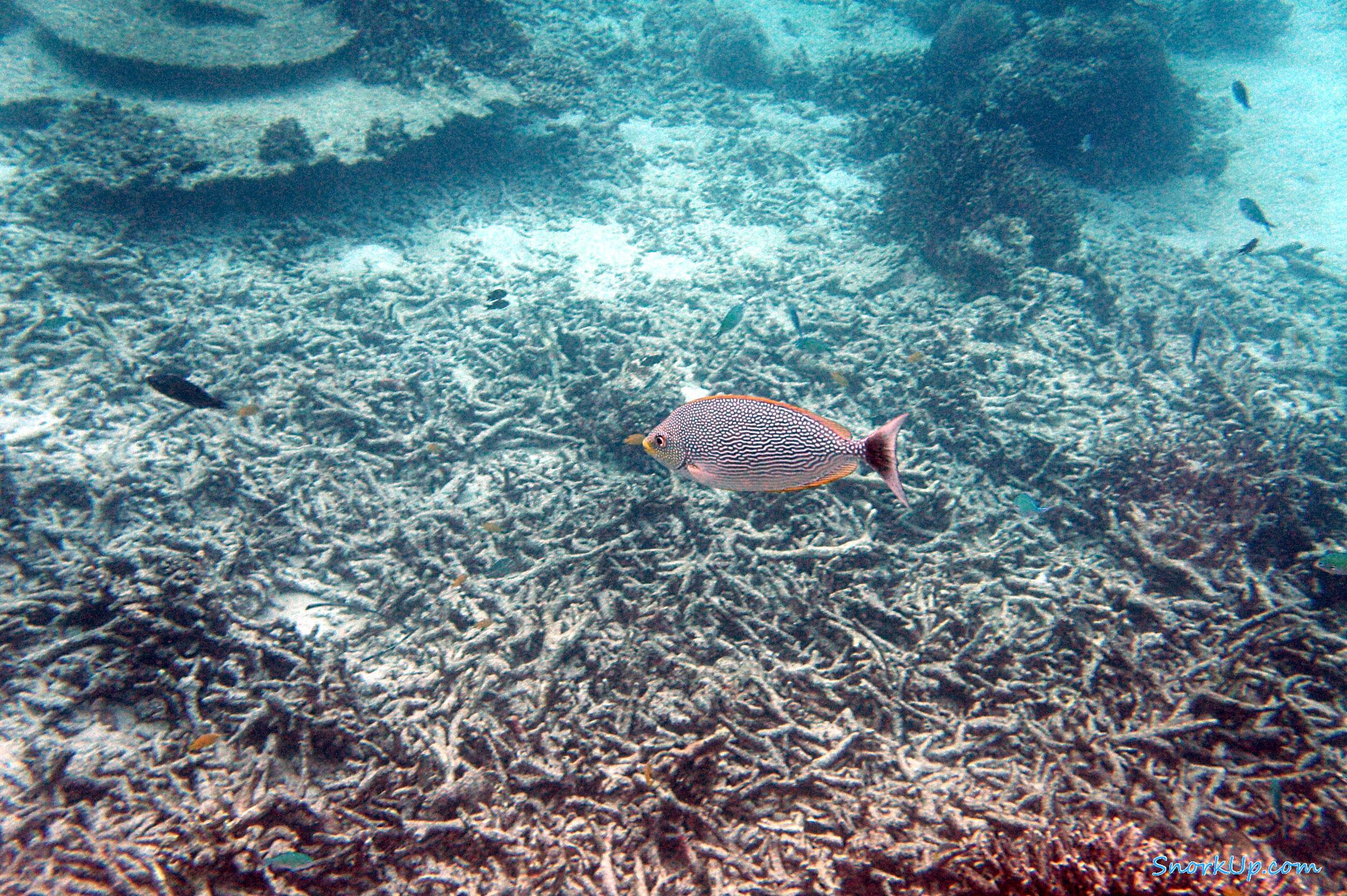 Сиган яванский (лат.Siganus javus, анг.Java rabbitfish, Streaked Spinefoot )