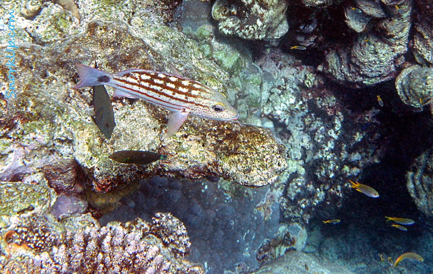 На переднем плане - Пёстрый луциан (лат.Lutjanus decussatus, анг.Checkered snapper)