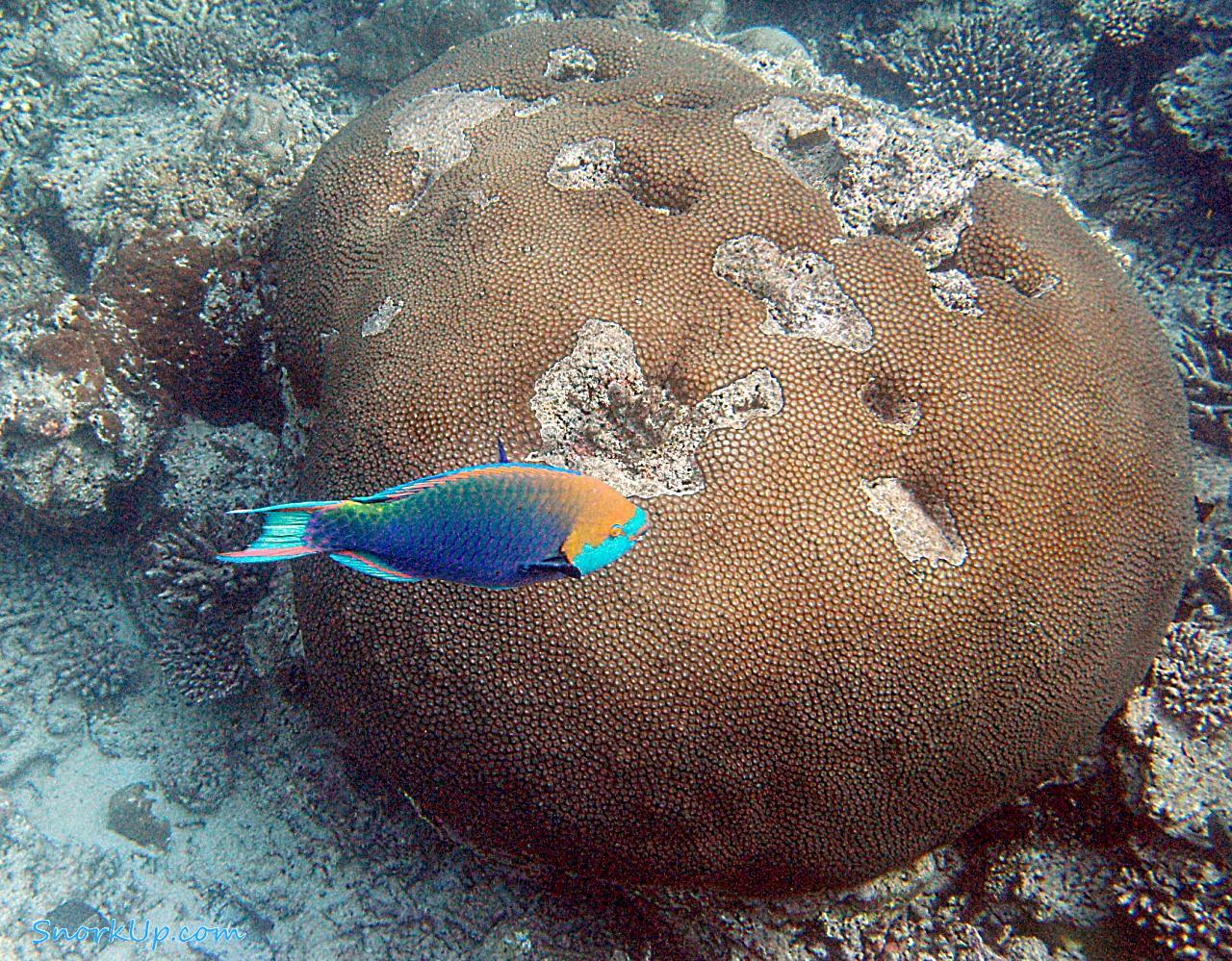 Рыба-попугай Scarus prasiognathos - анг.Singapore parrotfish
