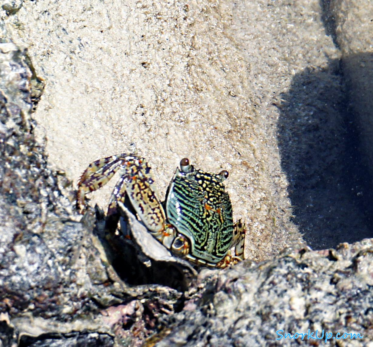 Краб Грапсус обыкновенный (лат.Grapsus tenuicrustatus)